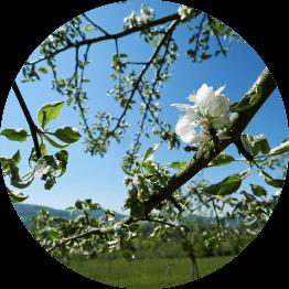 Äpfelblüte